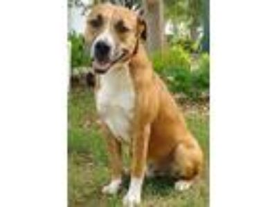 Adopt JAMES a Tricolor (Tan/Brown & Black & White) Labrador Retriever / Boxer /