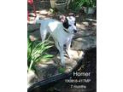Adopt Homer a Black - with White Blue Heeler / Terrier (Unknown Type