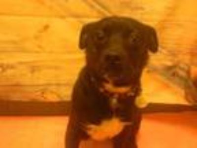 Adopt OREO a Patterdale Terrier / Fell Terrier, Mixed Breed