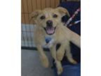 Adopt Pompano a Parson Russell Terrier, Rat Terrier
