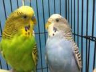 Adopt Chico a Parakeet (Other)