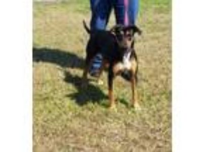 Adopt GEMINI a Black Hound (Unknown Type) / Mixed dog in Clinton, NC (25339708)