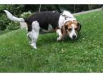 Adopt SWEETIE a Tricolor (Tan/Brown & Black & White) Beagle / Mixed dog in