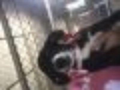 GIA Rat Terrier Dog