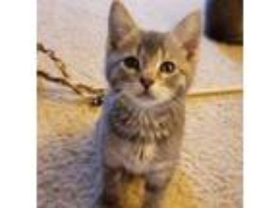 Adopt Boomer a Domestic Shorthair / Mixed (short coat) cat in Devon