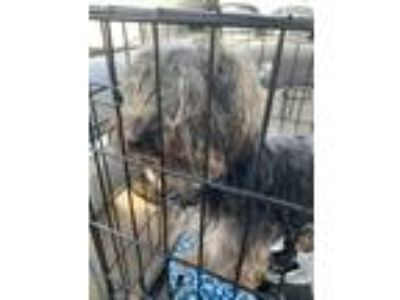 Adopt Grover a Yorkshire Terrier, Mixed Breed
