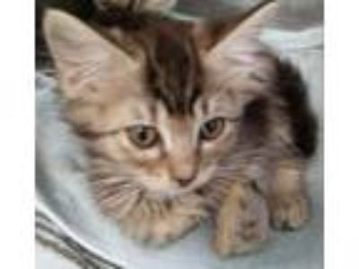 Adopt Annie a Domestic Medium Hair, Domestic Short Hair