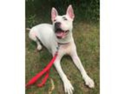 Adopt Blossom a Pit Bull Terrier