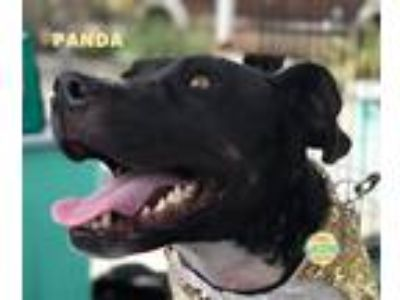 Adopt Panda a Black - with White Pointer / American Pit Bull Terrier / Mixed dog