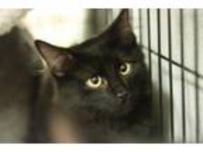 Adopt Binx a Domestic Short Hair