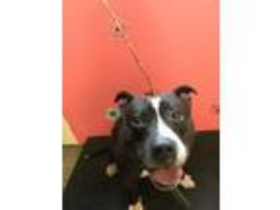 Adopt BRODIE a Pit Bull Terrier