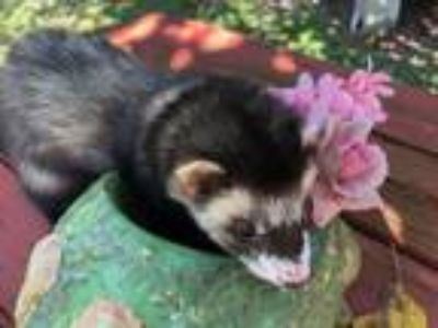 Adopt Sox a Ferret (short coat) small animal in Christmas, FL (25917436)