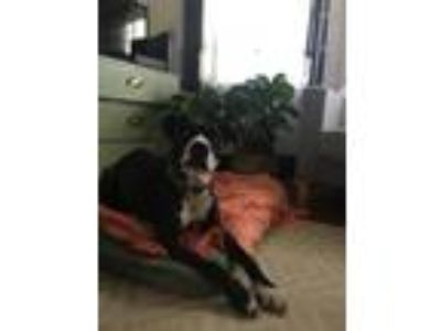 Adopt June Carter a Black - with White Labrador Retriever / American Pit Bull