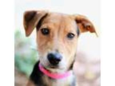Adopt Hannah a German Shepherd Dog, Mixed Breed