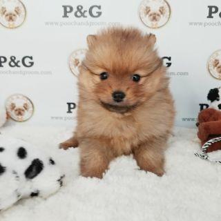 Pomeranian PUPPY FOR SALE ADN-108385 - POMERANIAN MARK FEMALE