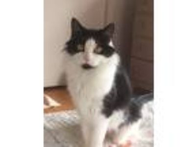 Adopt Tilly a Black & White or Tuxedo Domestic Mediumhair / Mixed cat in Salem