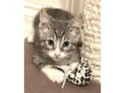 Adopt Westerly a Gray or Blue (Mostly) Domestic Shorthair / Mixed cat in