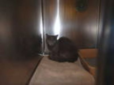 Adopt ENENA a Gray or Blue Domestic Mediumhair / Mixed (medium coat) cat in