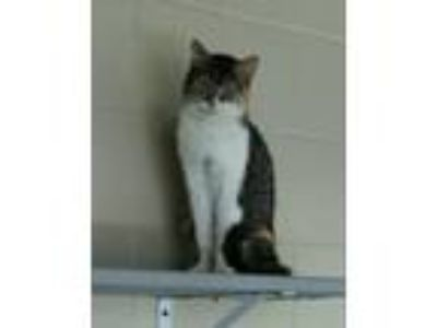 Adopt Gale a Domestic Short Hair