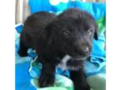 Adopt Hayden (Fostered in TN) a Black Australian Shepherd / Newfoundland / Mixed
