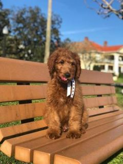 Goldendoodle PUPPY FOR SALE ADN-105323 - Cooper F1 Goldendoodle