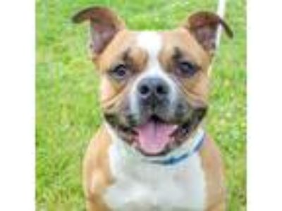 Adopt Tank a Brown/Chocolate American Staffordshire Terrier / Mixed dog in