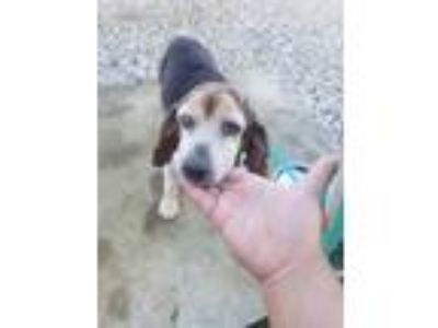 Adopt Doris a Beagle