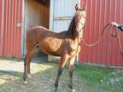 Fancy Bay Saddlebred Colt