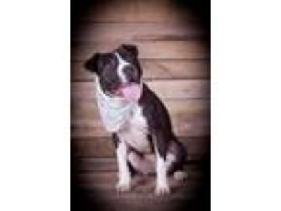 Adopt Becky a American Staffordshire Terrier