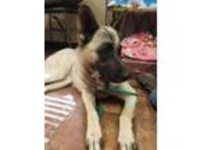 Adopt Shasta a Tan/Yellow/Fawn - with Black Husky / Shepherd (Unknown Type) /