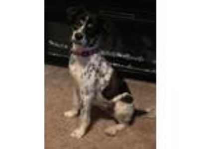 Adopt Gia a Tricolor (Tan/Brown & Black & White) Australian Shepherd / Mixed dog