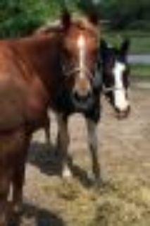 Shamrock Quarterhorse Horse