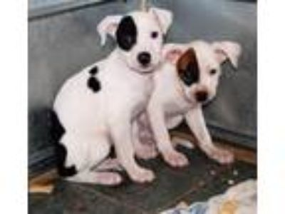 Adopt Perdita a White - with Black Mixed Breed (Medium) / Mixed dog in North