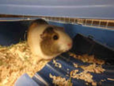 Adopt ALYSSA a Black Guinea Pig / Mixed small animal in Van Nuys, CA (25569991)