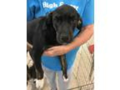 Adopt Billy Bob a Brindle - with White Mountain Cur / Labrador Retriever / Mixed