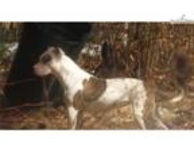18 month old colby jeep female adba registered