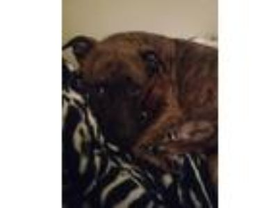 Adopt Hennessey a Brindle American Pit Bull Terrier / Mixed dog in Marietta