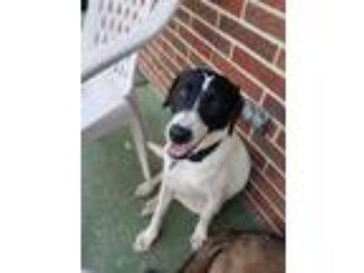 Adopt Annie a Border Collie