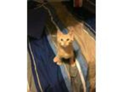 Adopt Paysen a Orange or Red Tabby Domestic Shorthair / Mixed cat in Tucson