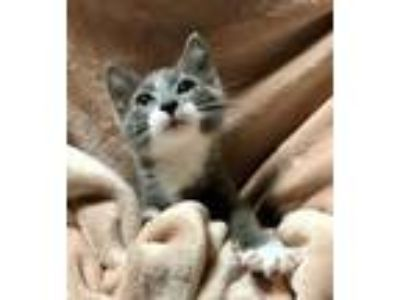 Adopt Dusty a American Shorthair, Domestic Short Hair
