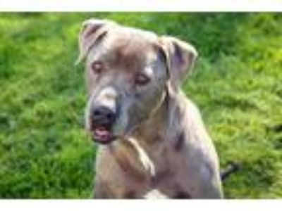 Adopt Remy a Gray/Silver/Salt & Pepper - with White American Pit Bull Terrier /