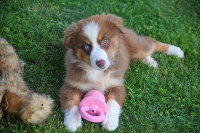 AKC Australian Shepherd Puppies-Blue & Bi-Eyed Male & Female