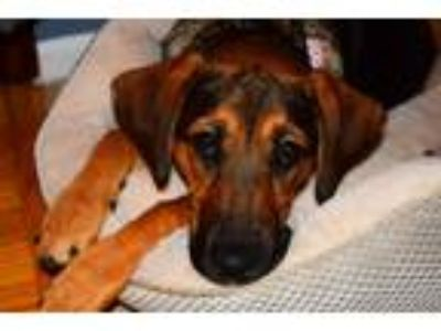 Adopt Beverly a Black - with Tan, Yellow or Fawn Basset Hound / Shepherd