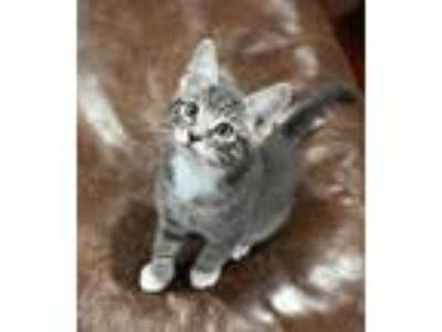 Adopt Kash a Gray or Blue (Mostly) Domestic Shorthair (short coat) cat in Cherry