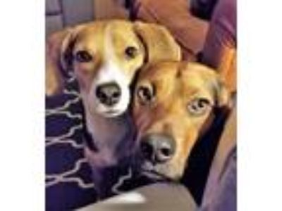 Adopt NANCY & NOAH a Tricolor (Tan/Brown & Black & White) Hound (Unknown Type) /