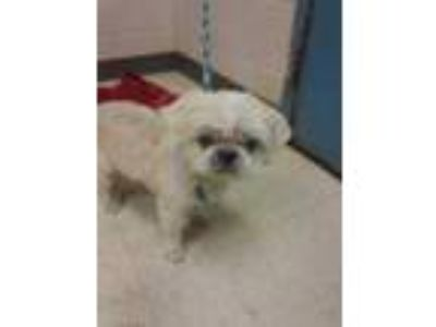 Adopt Tyson a White Shih Tzu / Mixed dog in Gulfport, MS (25812762)