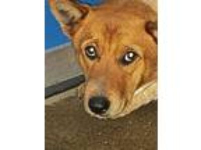 Adopt Cage 4 Jan 10 a Australian Cattle Dog / Blue Heeler