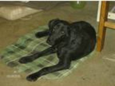 Adopt Jack a Black Labrador Retriever / Great Dane / Mixed dog in Hickory