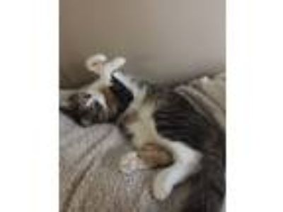 Adopt Kitten a Calico or Dilute Calico Calico cat in Stillwater, MN (25440832)