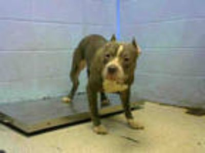 Adopt DAMON a Gray/Silver/Salt & Pepper - with White American Pit Bull Terrier /